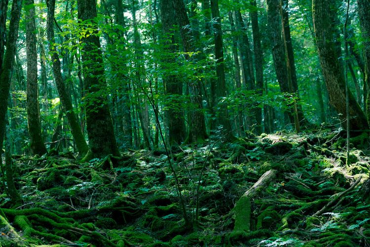 Aokigahara Forest (c) Jordy Meow, CC BY-SA 3.0